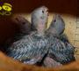 Brněnské zoo se podařilo podruhé odchovat vazy velké, letos rovnou tři mláďata