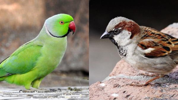 Změna klimatu zasáhla třetinu ptačích druhů v Británii. Vrabce v Londýně nahrazují papoušci
