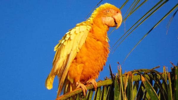 Vzácné pozorování žlutého ary ararauny s leucismem ve východní Brazílii