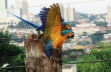 Požáry v Amazonii vyhání ary ararauny do měst. V Campo Grande už hnízdí 158 párů