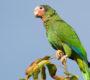 Amnestie pro majitele nelegálně získaných mazlíčků amazoňanů kubánských na Kajmanských ostrovech