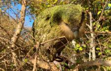 Populace nelétavých papoušků kakapů sovích dosáhla rekordního počtu 213 jedinců