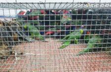 Pašeráci papoušků na trh ve filipínské Manile nedorazili. Neprojeli kontrolním stanovištěm policie