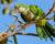 Athény obývá na 1 500 zdivočelých papoušků, většinou mníšků a alexandrů, spočítali ornitologové