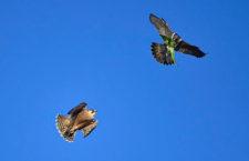 Divocí sokoli v Londýně učí mláďata lovit na invazních papoušcích alexandrech malých