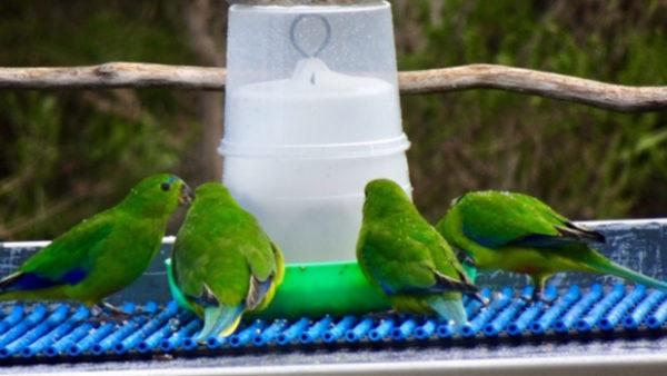 Nejvzácnější papoušci světa se vrací na hnízdiště. Osm divokých ptáků posílilo 12 vypuštěných ze zajetí
