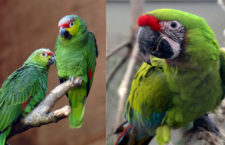 Amazoňany ekvádorské a ary zelené ochrání nová rezervace v Ekvádoru