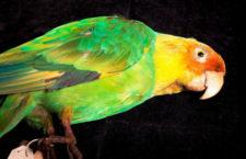 Papoušek karolinský pravděpodobně vyhynul později, než se předpokládalo. Až okolo roku 1944