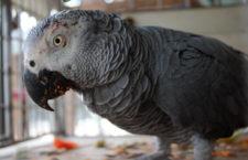 Vánoční zátah na pašeráky v Kamerunu vyšel: úřady zabavily 200 papoušků žako