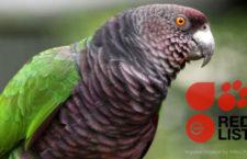 Amazoňan císařský by zařazen mezi kriticky ohrožené druhy, alexandr mauricijský je už pouze zranitelný