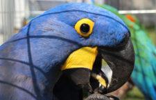Proč papoušci plýtvají potravou? Podle výzkumu tvoří odpad více než desetinu krmiva