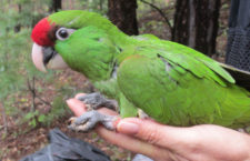 Endangered Parrots Sport Miniature Tracking Devices San Diego Zoo Global Researchers Join Effort to Track  Colorful North American Bird  In an effort to track and learn more about one of the last remaining parrot species in North America, a binational coalition of researchers—representing the Arizona Game and Fish Department (AZGFD); Mexico's National Commission of Natural Protected Areas (CONANP); Organización Vida Silvestre A.C. (OVIS), a Mexican conservation NGO; and San Diego Zoo Global (SDZG)—fitted 10 endangered thick-billed parrots with miniaturized tracking devices and released them into their native ranges.   The group placed location transmitters on the parrots—including chicks raised in artificial nest boxes that were placed in the forest by the OVIS team, as well as some adults. The transmitters are lightweight and should not affect the flight or movement of the youngsters as they leave the nest. This study will begin to unravel the mystery of where these birds migrate for the winter, as well as providing a better understanding of how different flocks move up and down the Sierra Madre ranges. Guests at the San Diego Zoo and San Diego Zoo Safari Park help make this and other San Diego Zoo Global conservation projects possible through their visits, their purchases on grounds and their donations to the San Diego Zoo Global Wildlife Conservancy. Photo credit: San Diego Zoo Global