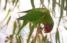 Tasmánie vyhlásila boj nepůvodním loriům mnohobarvým. Ničí ovoce a kříží se s místními papoušky
