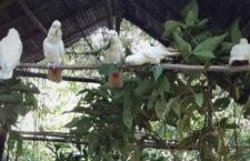Pět zachráněných kakaduů filipínských se vrátilo do přírody na ostrově Dumaran