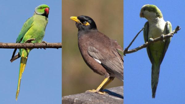 Izrael bije na poplach, invazní papoušci a majny obecné vytlačují původní vrabce a bulbuly