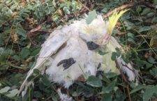 Tvrdá zkouška pro australské ptáky: nejdřív požáry, potom kroupy. Sestřelovaly papoušky z nebe