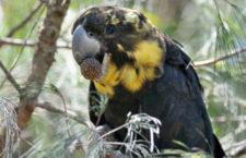 Požáry na Klokaním ostrově ohrožují kakaduy hnědohlavé. Ti, co se zachrání, nemají potravu