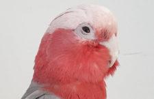 Kakadu růžový v pražských Dejvicích dolétal, srazilo ho auto. Kdyby ho úřady zabavily, přežil by