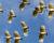 Stovky kakaduů pustoší maková pole na Tasmánii. Nejde jim o opium, uklidňuje ornitoložka
