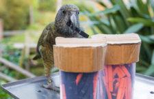 Nestoři kea se dokáží rozhodovat na základě pravděpodobnosti stejně jako lidé nebo primáti