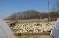 Maďarsko ztrácí kontrolu nad šířením ptačí chřipky, přes Velikonoce přibylo dalších 50 ohnisek nákazy
