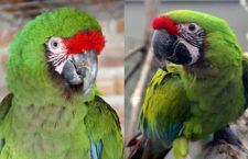 Jak se od sebe liší ara vojenský a ara zelený? Podle těchto znaků si je už nespletete