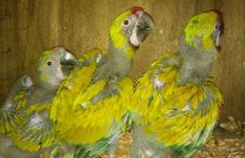 Rekordní hnízdní sezóna arů zelených v kostarickém centru Macaw Recovery Network: 12 mláďat z 25 vajec