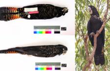 Australští genetici prověřili poddruhy kakadua havraního. Navrhují jeden zrušit a jiný zavést