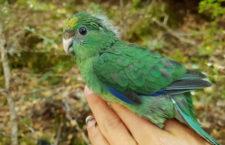 Koronavirus oddálil vypouštění kriticky ohrožených kakariků horských do přírody