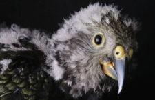 Pražské zoo se podařilo odchovat nestora kea, zahnízdili i papoušci patagonští ve skalní stěně