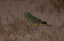 Překvapivé zjištění: Australský papoušek noční ve skutečnosti v noci téměř nevidí
