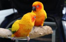 Problémy s rozmnožováním u samců papoušků a jak se dají řešit