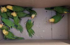 Mexické úřady zabavily pašerákům 43 aratingů oranžovočelých, část měla peroxidem upravené peří