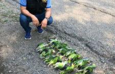 Pytlák převážel 18 mláďat amazoňanů žlutolících v autě, krabice s nimi vypadla a uhynuli