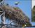 Mníšci šedí ve Španělsku nalezli způsob, jak se rozšířit na venkov: využívají hnízda čápů bílých