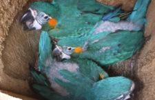 Čtvrtina divoké populace arů kanind se vylíhla v umělých hnízdních budkách. Za 15 let jde o 93 ptáků