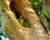 První úplná statistika hnízdění divokých arů zelených z kostarické Punta Islity: z 35 hnízd letos vylétlo 50 mláďat