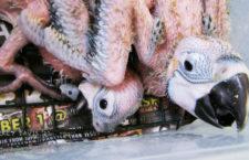 Státní veterinární správa varuje před nákupem neodstavených mláďat papoušků