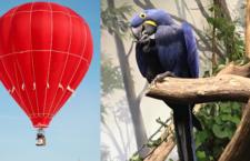 Provozovatel horkovzdušného balonu dostal milionovou pokutu za vyděšení papoušků k smrti