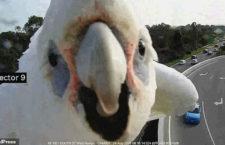 Zvědavý kakadu naholící zablokoval dopravní kameru u australské dálnice. Dispečeři v Perthu nemohli nic dělat