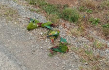 40 vědců z celého světa apeluje na chilské úřady, aby zabránily hromadným otravám papoušků zemědělci