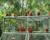 26 arů arakang odchovaných v zajetí posílilo divokou populaci v guatemalské biosférické rezervaci