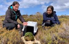 Kakapové soví expandují na nový ostrov: ochránci vypustili první čtyři samce na Pearl Island