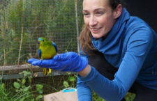 Rekordní návrat neofém oranžovobřichých na hnízdiště: zatím jich na Tasmánii dolétlo 27