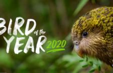 Kakapo soví jako jediný podruhé v historii vyhrál celonárodní anketu Pták roku na Novém Zélandu