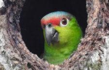 Příběhy ohrožených papoušků z Červené knihy IUCN 2020: amazoňan ekvádorský