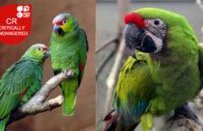 Nové kriticky ohrožené druhy podle Červené knihy IUCN: ara zelený a amazoňan ekvádorský