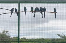 Německé ACTP hlásí rekordní sezónu u arů škraboškových. Odchovalo 21 mláďat: 11 samců a 10 samic