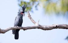 Austrálie přijde do 50 let o polovinu kakaduů palmových, předpovídají vědci