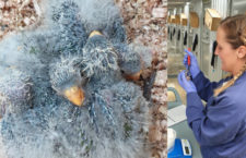 Dobré zprávy z Tasmánie: v přírodě přežívá 76 neofém oranžovobřichých, chovná stanice hlásí rekord